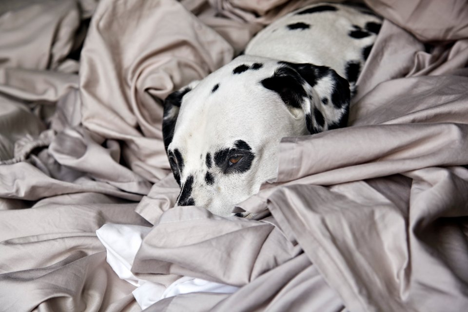 Dalmatian dog snuggled in a pile of blankets