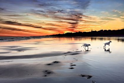 Two Dalmatian dogs running on the beach at sunrise