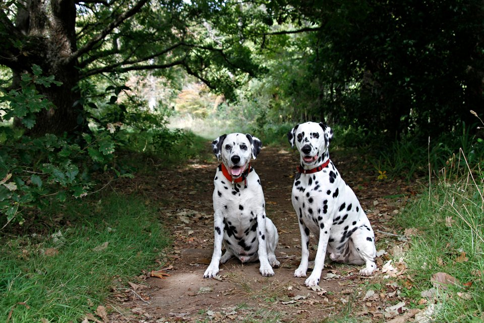 Two smiling Dalmatian dogs on a green forest trail