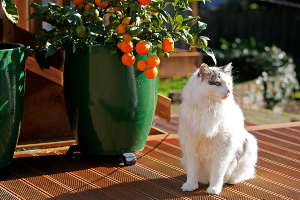Fluffy white cat on a wooden deck in the sun with potted citrus plants