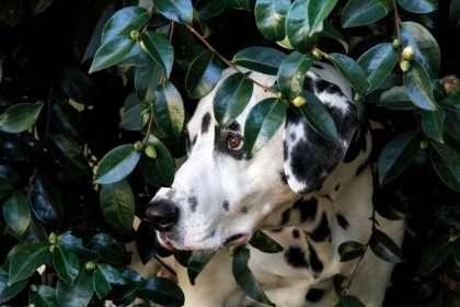 Dalmatian dog play hiding in a camellia shrub