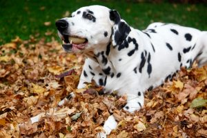 Dalmatian-dog-with-ball-in-garden-leaf-pile