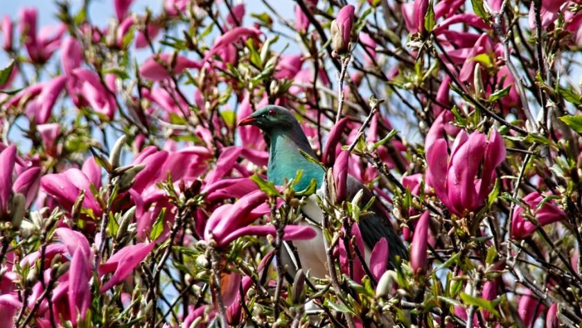 Wood pigeon sitting in a magnolia tree
