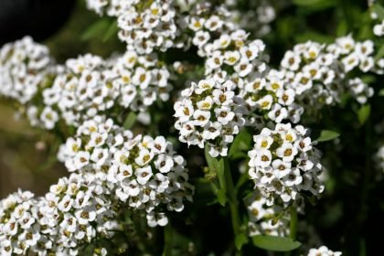 Alyssum crop cover flowering