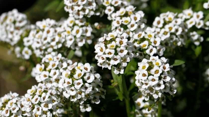 Alyssum crop cover flowering
