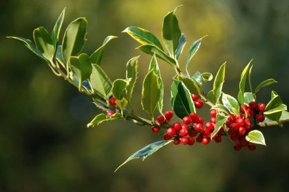 Berries growing on holly plant