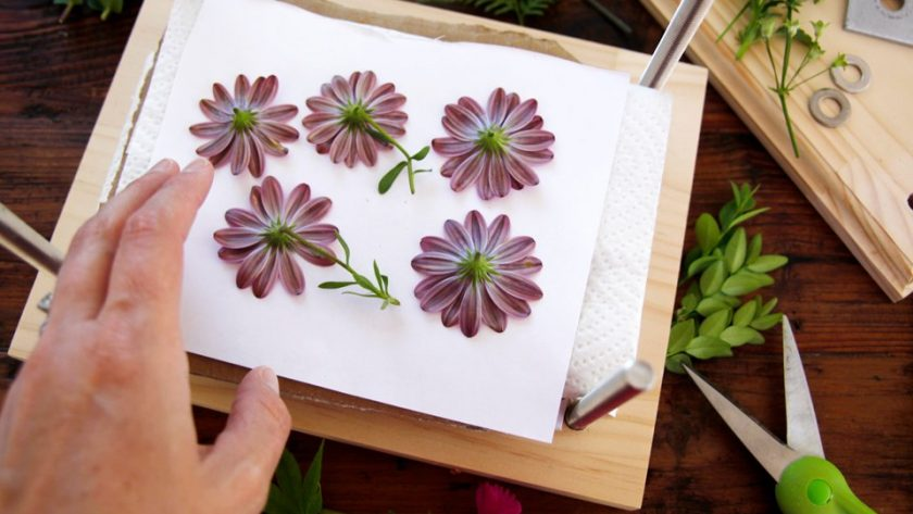 Preparing flowers for pressing in a wooden flower press