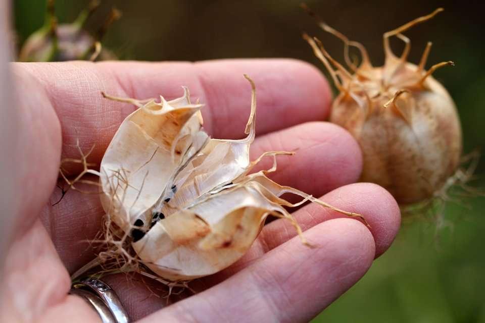 Nigella seed pods
