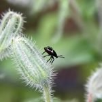 Small black bug on a flower bud