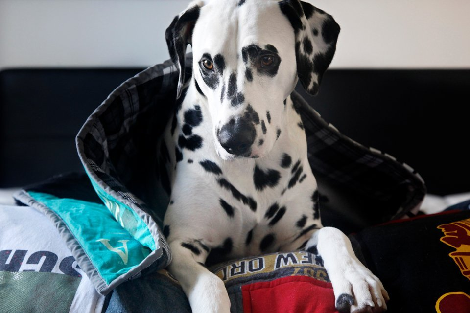 Dalmatian dog snuggled in homemade recycled t-shirt quilt