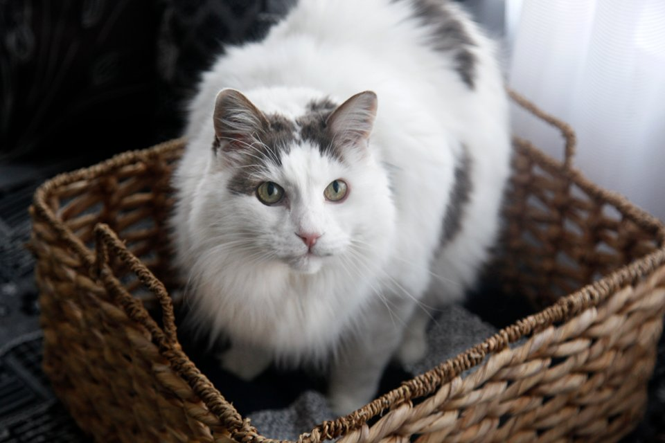 Fluffy white cat in a wicker basket bed