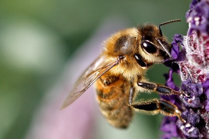 Close up of a bee on lavender