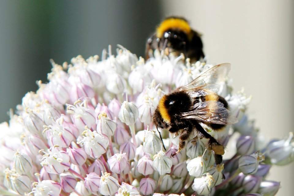 Bumblebees on leek flower ball
