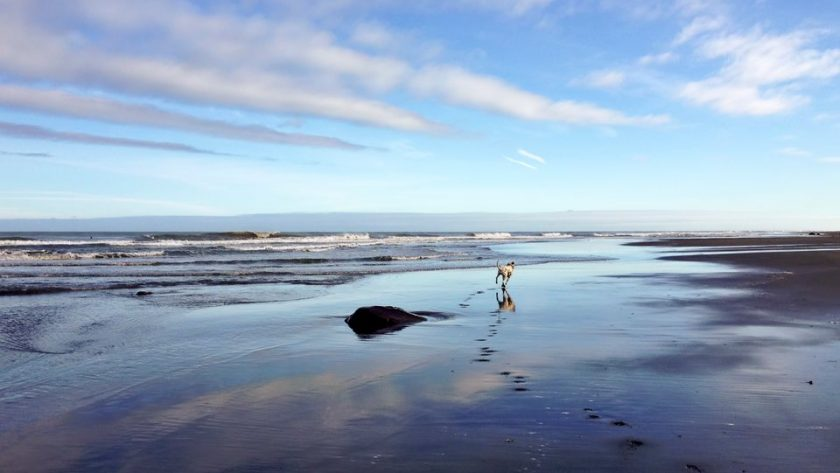 Dalmatian dog running on back sand beach