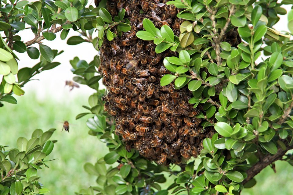 Ball of relocating bees resting in box hedge