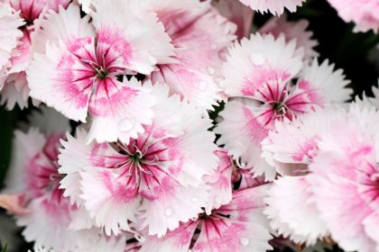 Raindrops of pink dianthus flowers