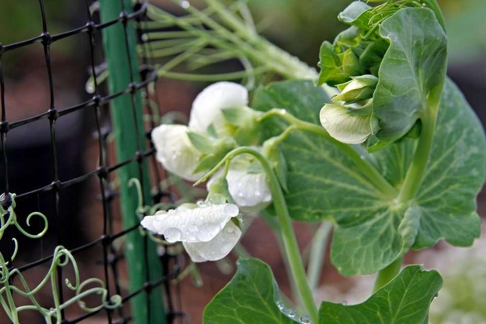 Pea blossoms in the rain