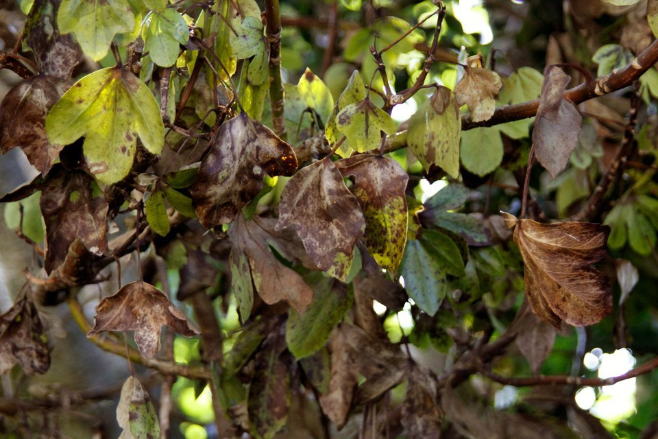 Leaves on a tree with dieback (root rot)