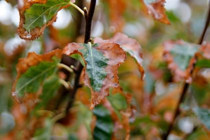 Leaf scorch on a birch tree after storm