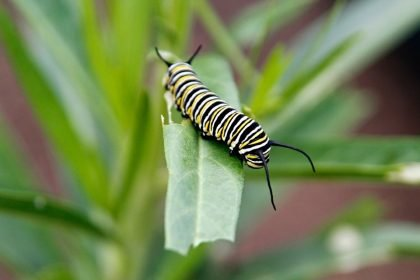 Monarch caterpillar eating swan plant (milkweed) leaf