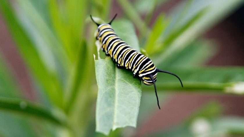 Monarch caterpillar eating swan plant (milkweed) leaf