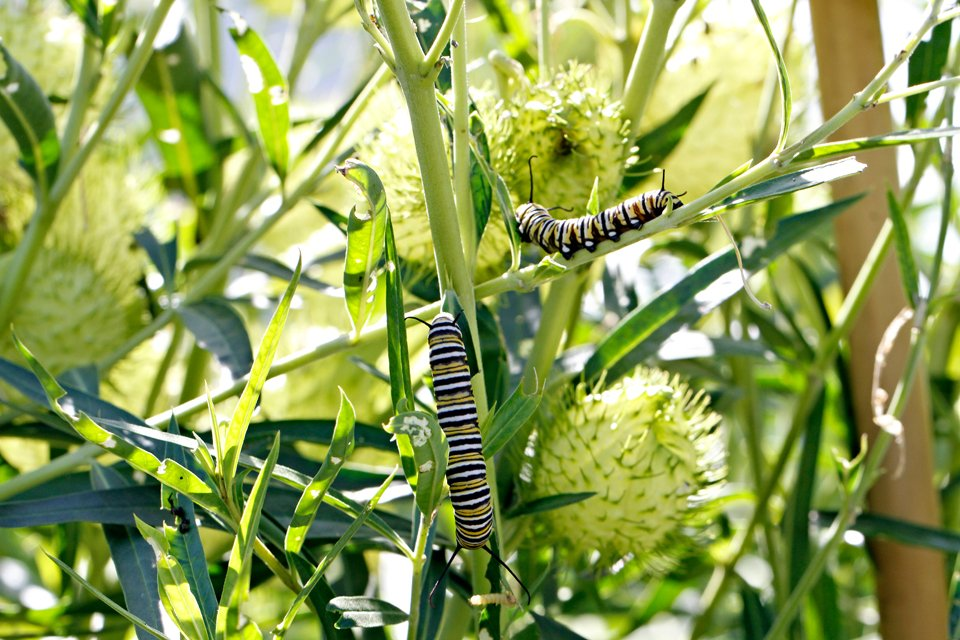 Monarch caterpillars on swan plant with seed pods