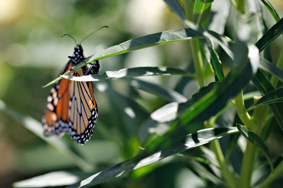 Female monarch butterfly laying eggs on milkweed