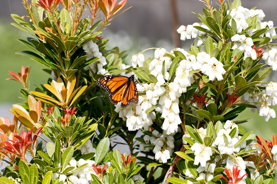 Monarch butterfly on flowering shrub