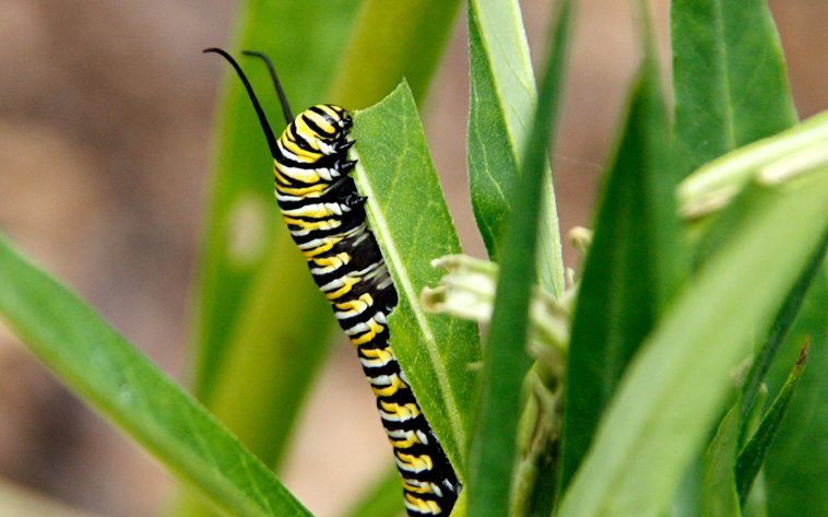 Monarch caterpillar eating swan plant (milkweed)