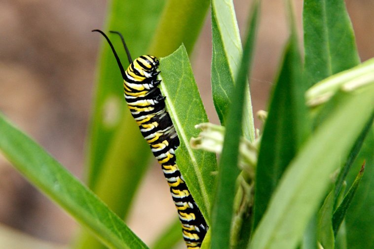 Monarch caterpillar eating swan plant (milkweed)