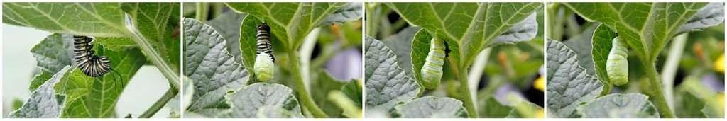 Monarch caterpillar splitting skin and transforming into a chrysalis