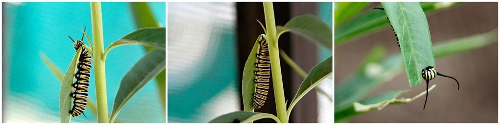 Monarch caterpillar nibbling wan plant (milkweed) to dangle underneath leaf