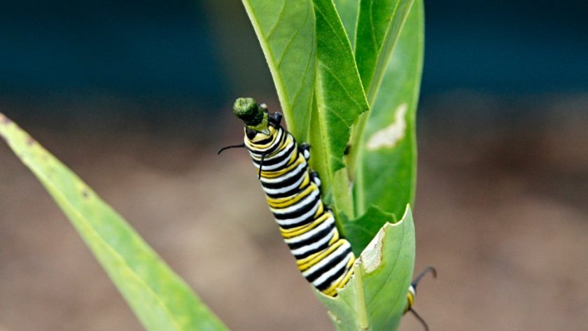 Monarch caterpillar pooping out frass