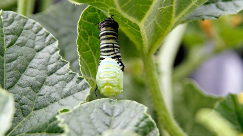 Monarch caterpillar splitting skin to transform into a chrysalis