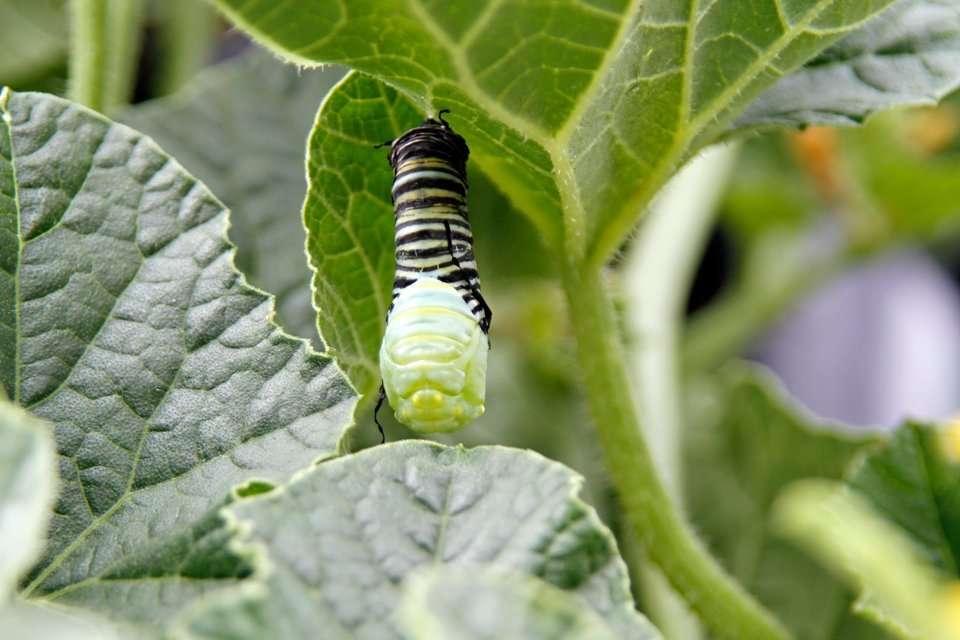 Monarch caterpillar splitting skin to transform into a chrysalis