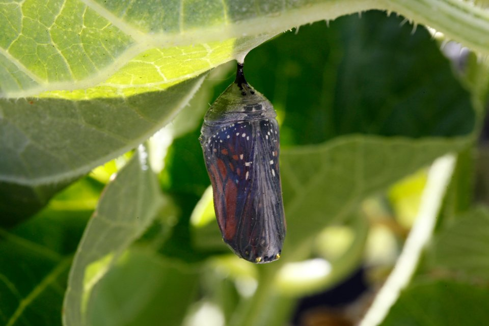 Transparent monarch chrysalis ready to eclose