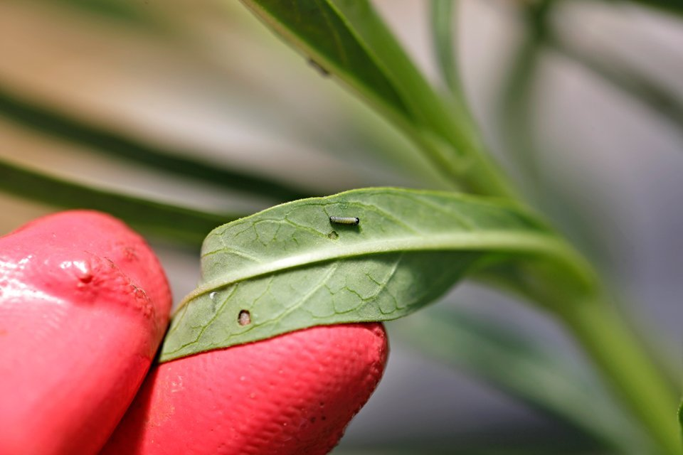 Newly hatched monarch caterpillar on swan plant (milkweed) leaf