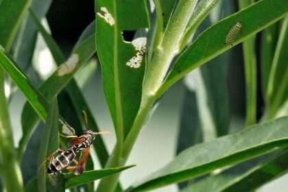 Paper wasp hunting monarch caterpillars