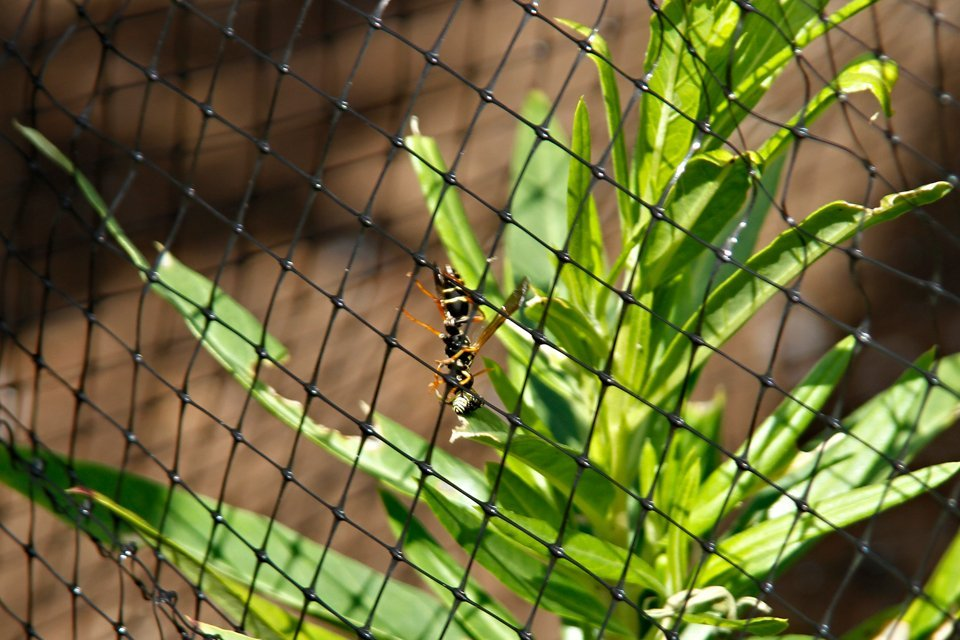 Paper wasp stealing small monarch caterpillar through insect net
