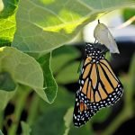 Newly eclosed monarch butterfly drying on chrysalis