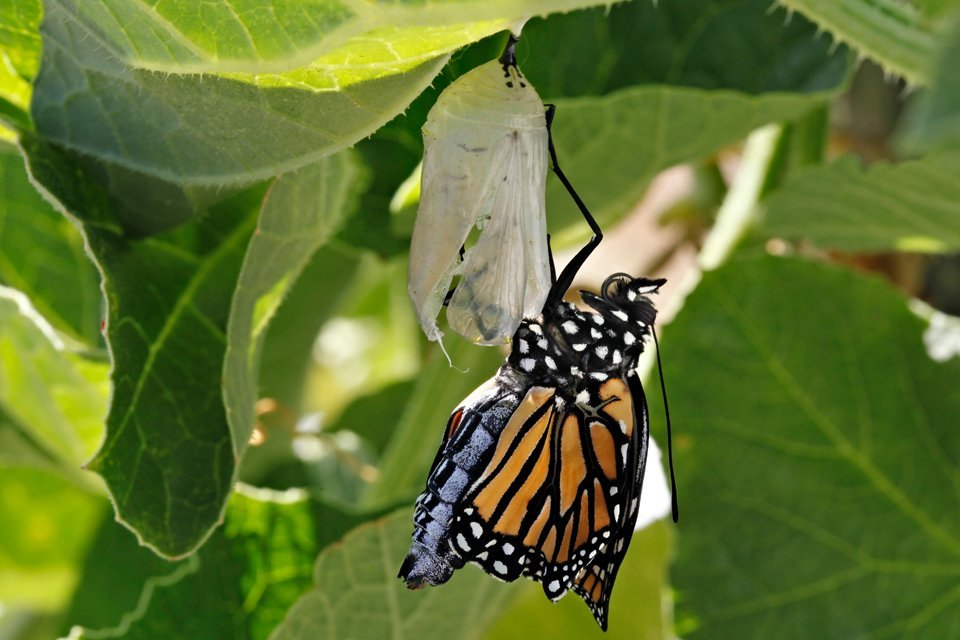 Newly eclosed monarch pumping fluid into it's wings