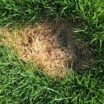 Dog pee patch of dead grass on lawn