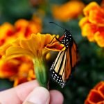 Monarch butterfly perched on an orange marigold