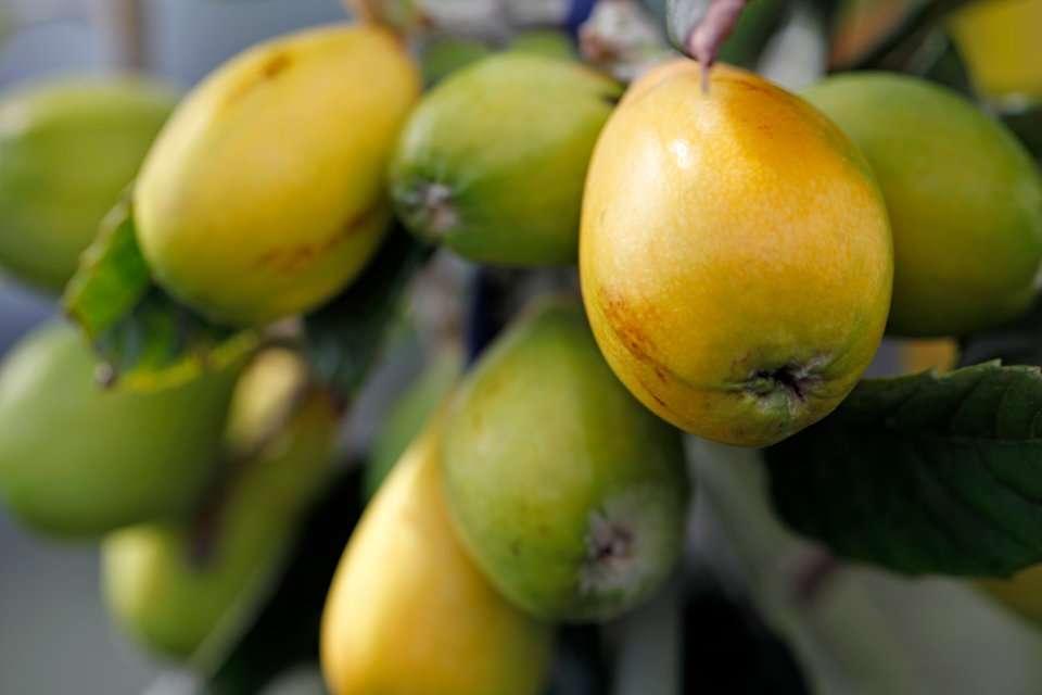 Loquat fruit ripening on tree