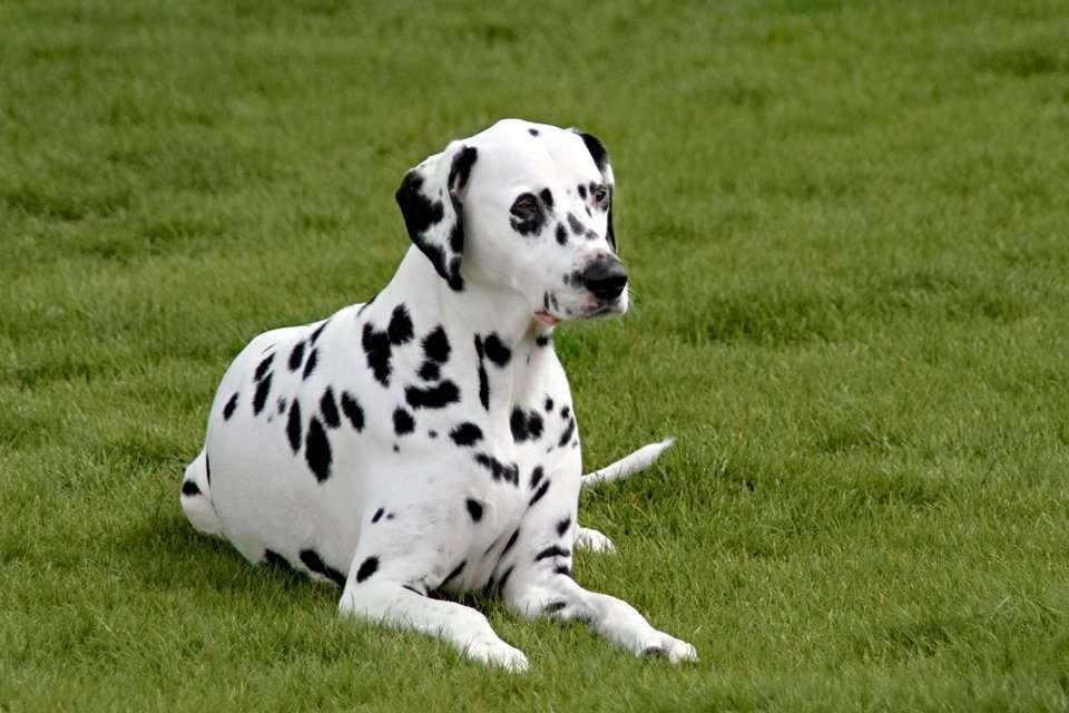 Dalmatian dog lying on green grass lawn