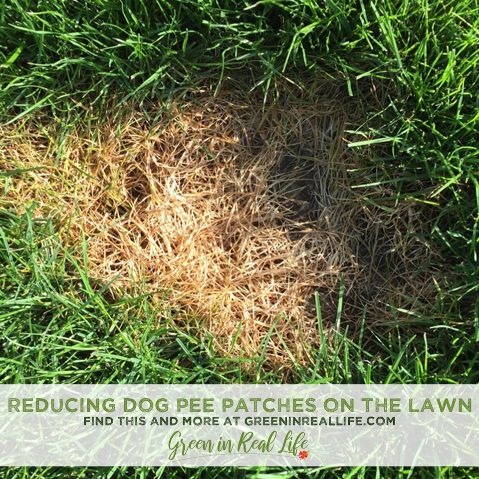 Managing Dog Pee Patches in the Lawn