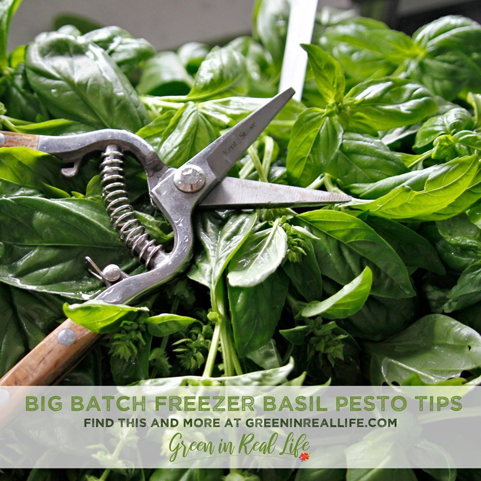 Big Batch Freezer Basil Pesto