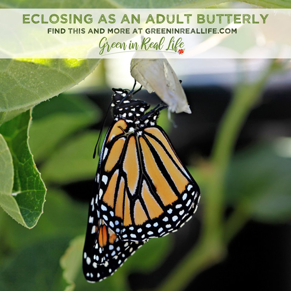 Eclosing from Chrysalis as a Monarch Butterfly