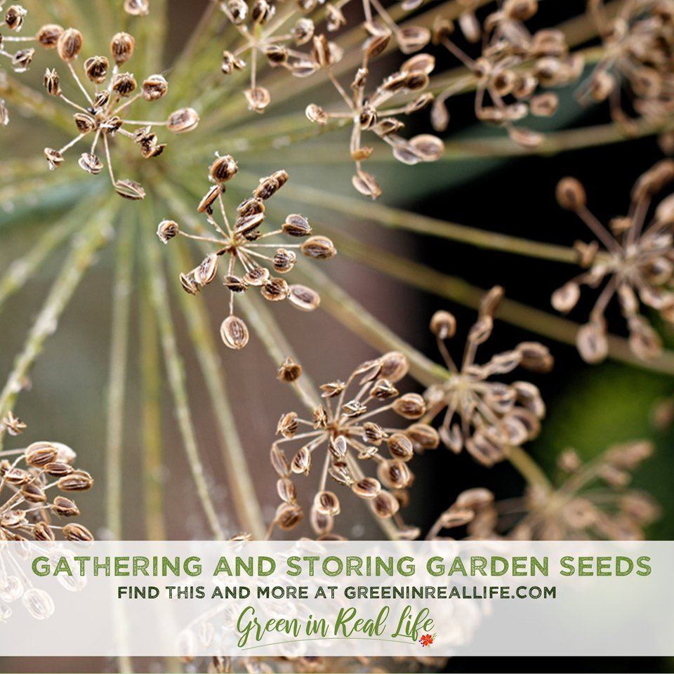 Gathering and Storing Seeds from the Garden