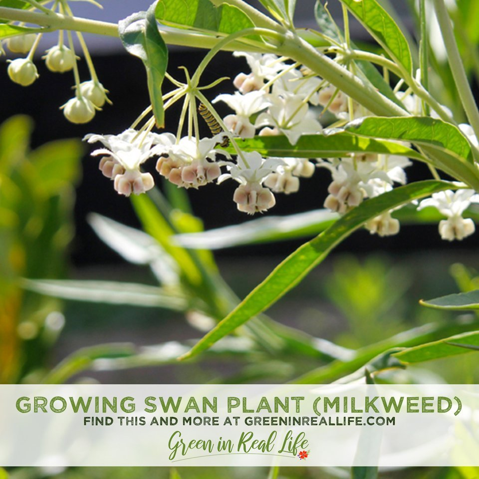 Growing Swan Plant (Milkweed) for Monarchs